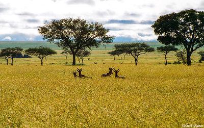 serengeti, national park, tanzania, sea of grass, hartebeest