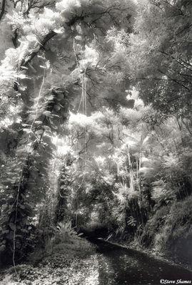 big island, hawaii, hanging vines, tropical rain forest