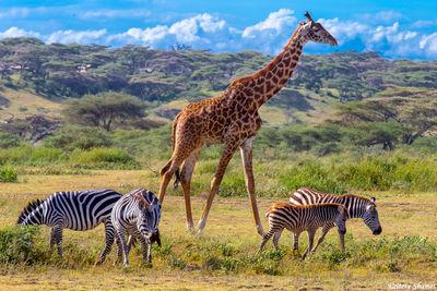 serengeti, national park, tanzania, giraffe, zebras