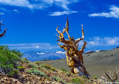 ancient, bristlecone pine forest, white mountains, california