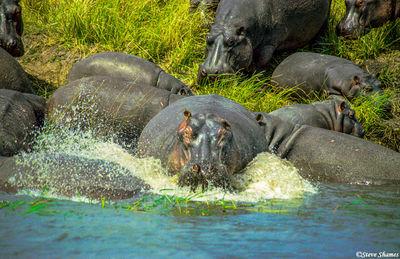 ngorongoro crater, tanzania, hippo splashing