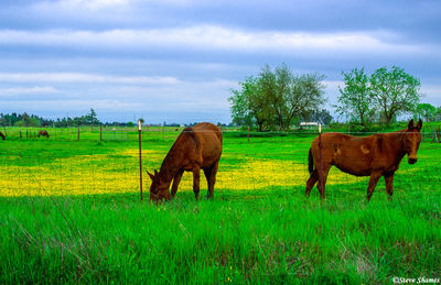 rio linda horses, sacramento valley, california