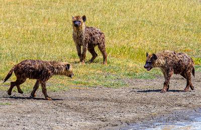 ngorongoro crater, hyena, tanzania