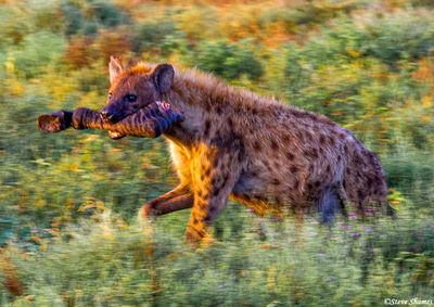 serengeti, hyena, zebra, tanzania
