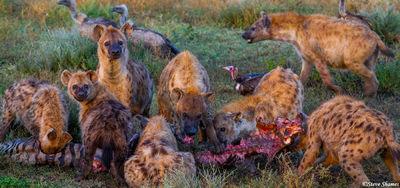 serengeti hyenas, zebra kill, tanzania