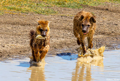 hyenas chasing, ngorongoro crater, tanzania