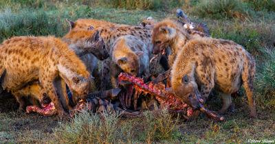 serengeti, hyenas fighting, tanzania