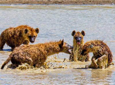 ngorongoro crater, tanzania, hyenas playing