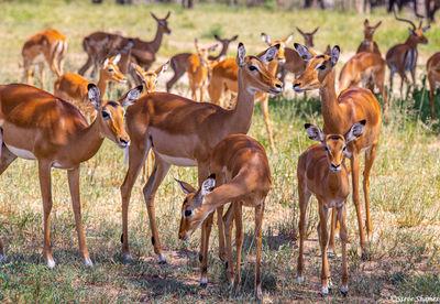 impala harem, bachelor herd, tarangire, national park, tanzania
