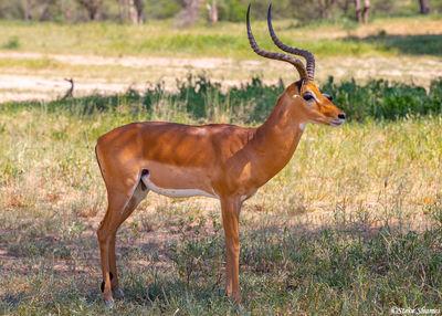 impala ram, harem, tarangire, national park, tanzania