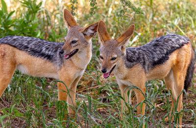 tarangire national park, tanzania, jackal pups