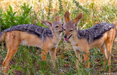 black backed jackal pups, tarangire national park, tanzania