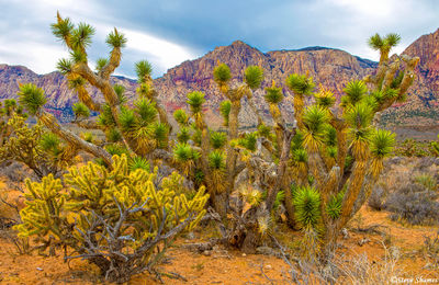 red rock canyon, nevada, joshua tree