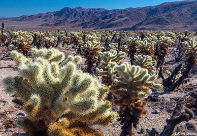 cholla cactus, joshua tree national park, southern california
