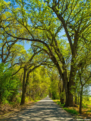 kiefer road, sacramento county, california, archway of trees