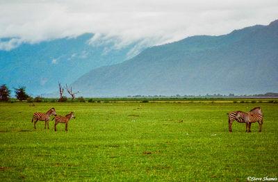 lake manyara, kenya, zebras