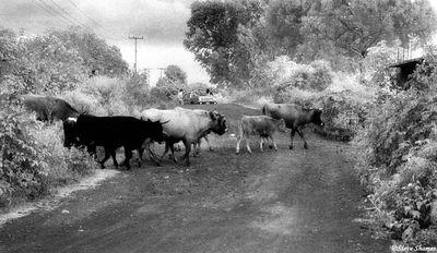 lake patzcuaro, mexico, cattle crossing