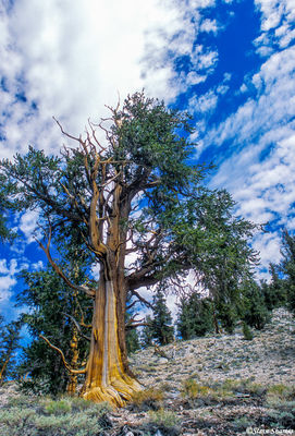 ancient, bristlecone pine forest, california