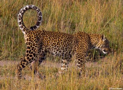 serengeti, tanzania, leopard, curled tail