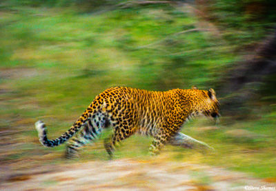 moremi game reserve, botswana, leopard running