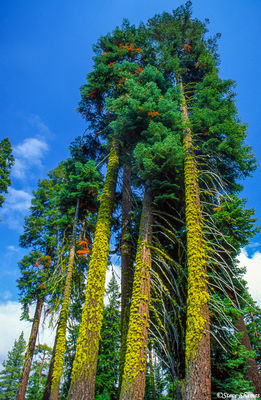sequoia national park, lichen covered trees