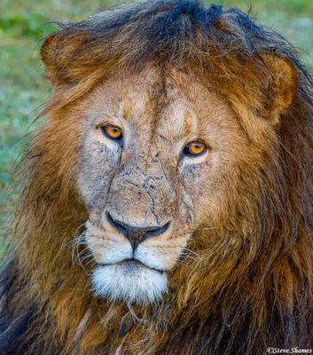 ngorongoro crater, tanzania, male lions, africa