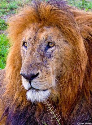 masai mara, national reserve, kenya, lion portrait