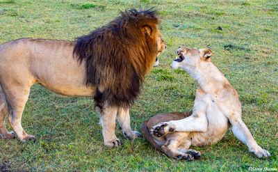 ngorongoro crater, tanzania, lion honeymooning