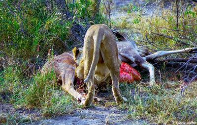 lioness eating kudu, moremi game reserve, okavango delta, botswana
