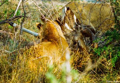 lioness pounced, kudu, moremi game reserve, okavango delta, botswana