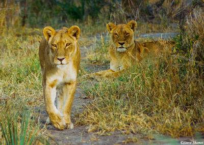 lioness walking, moremi game reserve, okavango delta, botswana