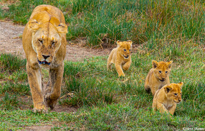 serengeti national park, tanzania, lioness with cubs