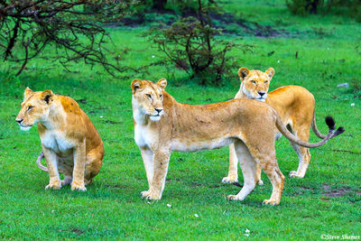 masai mara, national reserve, kenya, lioness