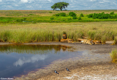 serengeti, national park, tanzania, marsh lions