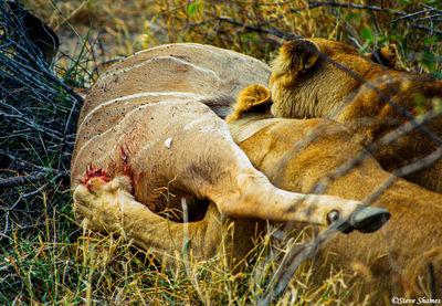lions eating, growling, moremi game reserve, okavango delta, botswana