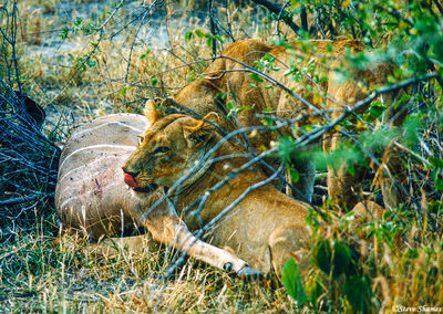 lions eating kudu, moremi game reserve, okavango delta, botswana