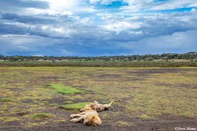 serengeti lions, national park, tanzania
