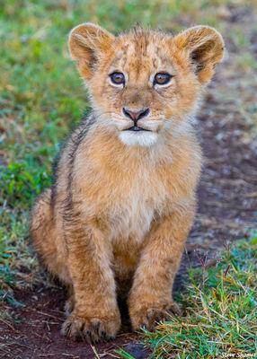 ngorongoro crater, tanzania, lion cub