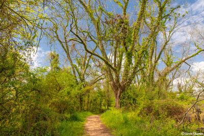 Louisiana Trees