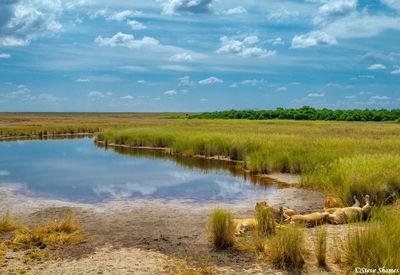 serengeti national park, tanzania, marsh lions