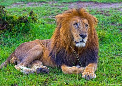 masai mara, national reserve, kenya, male lion, the mara
