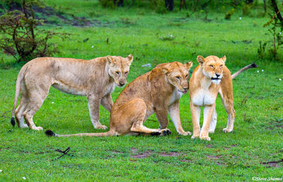 masai mara, national reserve, kenya, lion pride