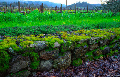 napa valley, northern california, moss covered rocks