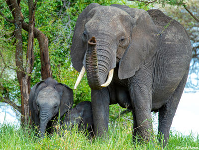 mother elephant, calf, tarangire national park, tanzania