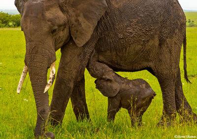 mother elephant, masai mara, calf, kenya