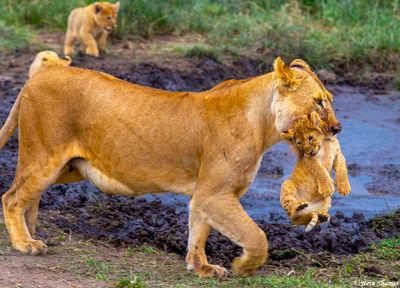 serengeti, national park, tanzania, lion cubs, mother lion, lioness