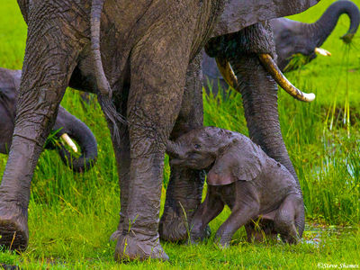 baby elephant, masai mara, national reserve, kenya