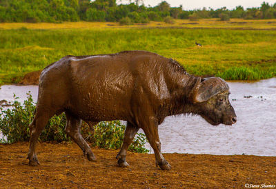 aberdare national park, kenya, cape buffalo, muddy