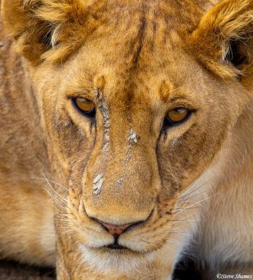 serengeti, national park, tanzania, muddy lioness
