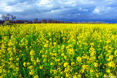 sacramento valley, california, wild mustard, empty fields